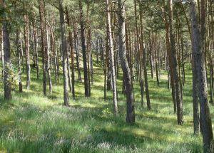 Dünenkiefernwald